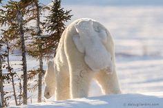 Une Maman Ours Polaire et son Bébé sur le Dos (4)