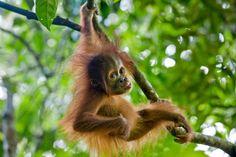 Sumatran Orangutan (Pongo abelii) nine month old baby playing in tree, north Sumatra, Indonesia