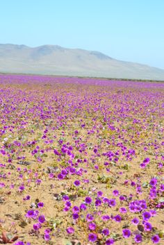 Flowers in the desert ( desierto florido ) Atacama Desert CHILE Desert Colors, Desert Flowers, Wild Flowers, Places Around The World, Around The Worlds, Chile, Champs, Nave Star Wars, Travel Photographer