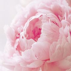 dozens of pink peonies. #flowers #nature #photography | pastel