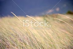 Grass Seed in Soft Focus Royalty Free Stock Photo
