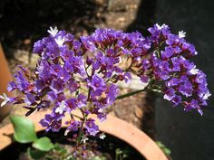 Sea Lavender: The flowers Fina picks when she is cursed by the gypsy witch.