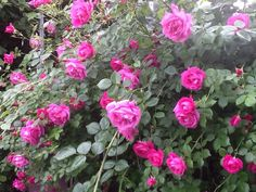 Old fashioned fragrant climbing rose