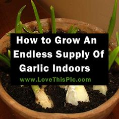 How To Easily Grow An Endless Supply of Garlic Indoors
