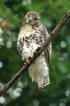 Red Tailed Hawk (young) by Gator 5, via Flickr