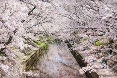 Sakura Covered River -- By David LaSpina