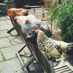 epeal:      My lovely friend has 6 lovely cluckers and we managed to get them all to stay in the same place!!