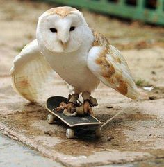 Barn owl on a skateboard