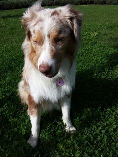 Raya - standard aussie Shepherd.  9 months old.
