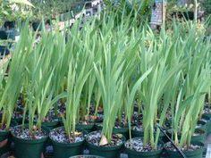 9 вопросов-ответов по выращиванию гладиолусов | Дача - впрок | дачные мотивы | Постила