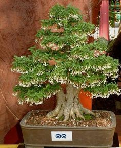 The upright styles in bonsai are one of the most popular and easy styles for beginners. Learn all about the two main upright styles in bonsai growing. Bonsai Plants, Bonsai Garden, Bonsai Trees, Terraria Tips, Bamboo Tree, Miniature Trees, Growing Tree, Small Trees, Topiary