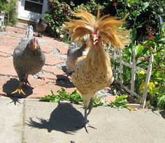 A Rocker Rooster with his groupies!
