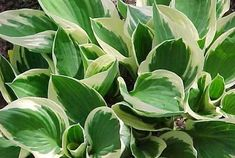 Hosta Patriot, Variegated Plantain lily, Plantain Lily 'Patriot', Shade perennials, Plants for shade Heuchera, Shade Perennials, Shade Plants, Plantain Lily, Primroses, Agapanthus, Flowers