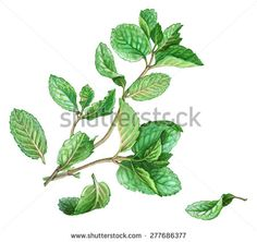 mint plant drawing - Google Search