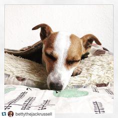 by @bettythejackrussell  #sleepyhound #jrt #jackrussell