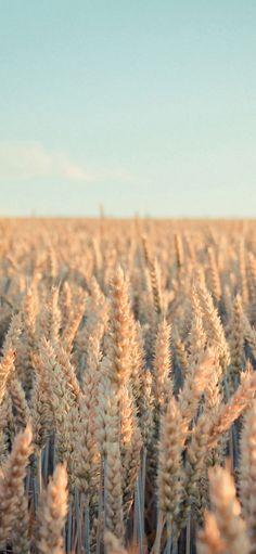 Nature Rye Field Farmland iPhone X Wallpapers