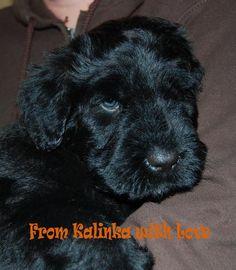 Zoya my Black Russian Terrier puppy at 6 weeks