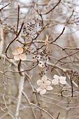 467028 - Chinese hydrangea (Hydrangea heteromalla)