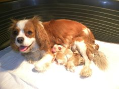 The Cavalier King Charles Spaniel was shown in the Toy Group from the AKC starting in 1996.
