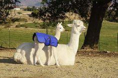 alpacas- LOVE THEM