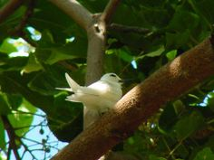 Manu o ku, common fairy tern - Gygis alba