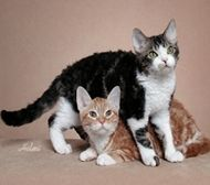 American Wirehair Cat Breed Profile