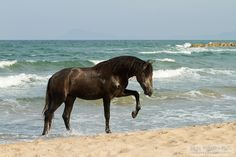 Andalusian stallion coming out the sea