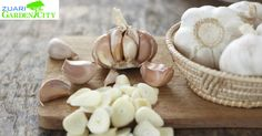 Garlic can be used  to prevent blood clots, clear nasal congestion, reduce Cholesterol and Blood Pressure Levels.#HealthTips