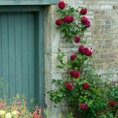 Tess of the d'Urbervilles Climbing - David Austin Roses - good old rose fragrance