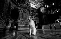 Cats of Hagia Sophia..