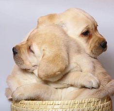 Buy Labrador Puppies and Retrievers. Best Pets for Sale Shop USA. Beautiful Puppies For Sale Available! Cute Puppies, Cute Dogs, Dogs And Puppies, Doggies, Labrador Puppies, Baby Labrador, Dalmatian Puppies, Golden Labrador, Golden Puppy