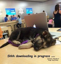 From my GSD FB Page German Shepherd Dogs Australia. https://www.facebook.com/German.Shepherd.Dogs.Australia?ref=tn_tnmn