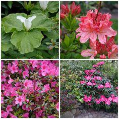 HAVEHJERNEN: Rhododendronhaven i Rens