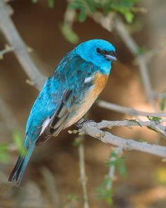 Lazuli Bunting - Whatbird.com
