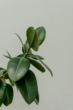 selective focus photography of green leafed plant Rubber Plant Trees To Plant, Plant Leaves, Green Leaves, Nature Verte, Rubber Tree, Rubber Plant, Ficus Elastica, Plant Wallpaper, Plant Aesthetic