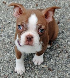 Oliver the Boston Terrier, my puppy, is the daily puppy for June 10th, 2013!!!!