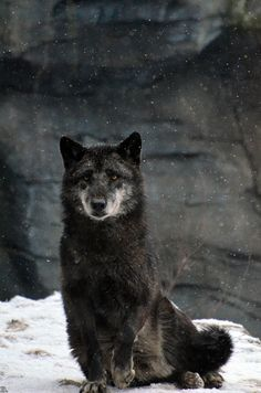 Dark wolf.  Beautiful!  All animals have their place on this earth and should not be hunted down in mass numbers.  We as humans are better than that.