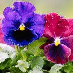 5 μυστικά φροντίδας για πανσέδες Backyard, Flowers, Plants, Diy, Gardening, Balcony, Decor, Patio, Decoration