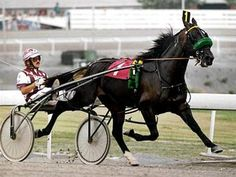 """American Standardbred. Uniquely American breed that excels at the trot. """"Pacers"""" trot with the legs on each side moving in unison; """"Trotters"""" trot with the more natural alternating legs in unison (right front with left hind and vice versa). Pacers and trotters do not race together, they have their own divisions."""