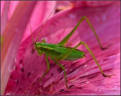 Pink Lily, Green Bug