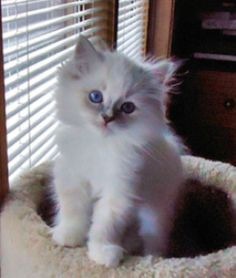 Ragdoll and Persian Kittens from Plush Palace