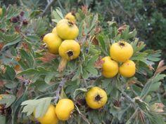 Alıç Bitkisi: Gülgiller familyasında yer alan, Ekşi Muşmula olarak da bilinen bir bitkidir. Kırlarda yabani olarak yetişen bir ağaçtır. Meyveleri küçük muşmulaya benzer ve kırmızı- sarı renklidir. Tadı mayhoştur. Tıp alanında meyvesi kullanılır.