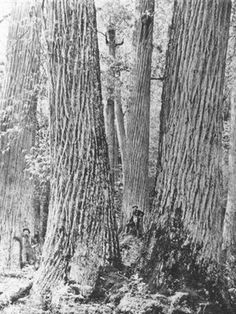 """Chestnut trees - trying to make a come back    In the early 1900s, two men stand amid five American chestnut trees near Townsend, Tenn. Once called """"the Redwoods of the East"""", chestnuts made up 25 percent of Northeastern American forests."""