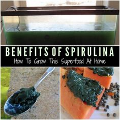 The Benefits Of Spirulina Superfood - How To Grow Your Own At Home | Spirulina is a type of superfood that is actually an algae you can easily grow and cultivate at home without a lot of effort.
