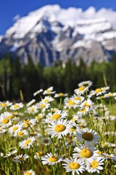 Daisies at Mount Robson provincial park, Canada by Elena Elisseeva