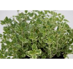 Origanum vulgare / Oregano, Pamajorán obyčajný, K12 Parsley, Ale, Herbs, Plants, Ale Beer, Herb, Plant, Ales, Planets