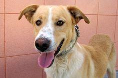 Drako es  muy simpático. Es de esos perros que no pierde el espíritu de cachorro.  ¡Pon un Drako en tu vida!