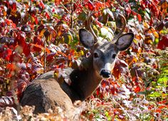 October Deer Visit... he seems to like the cherry tree.