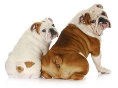 Mom Bulldog with her cute puppy