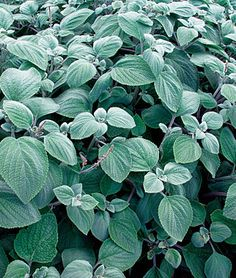 Silver Shield Plectranthus Seeds and Plants, Annual Flower Garden at Burpee.com